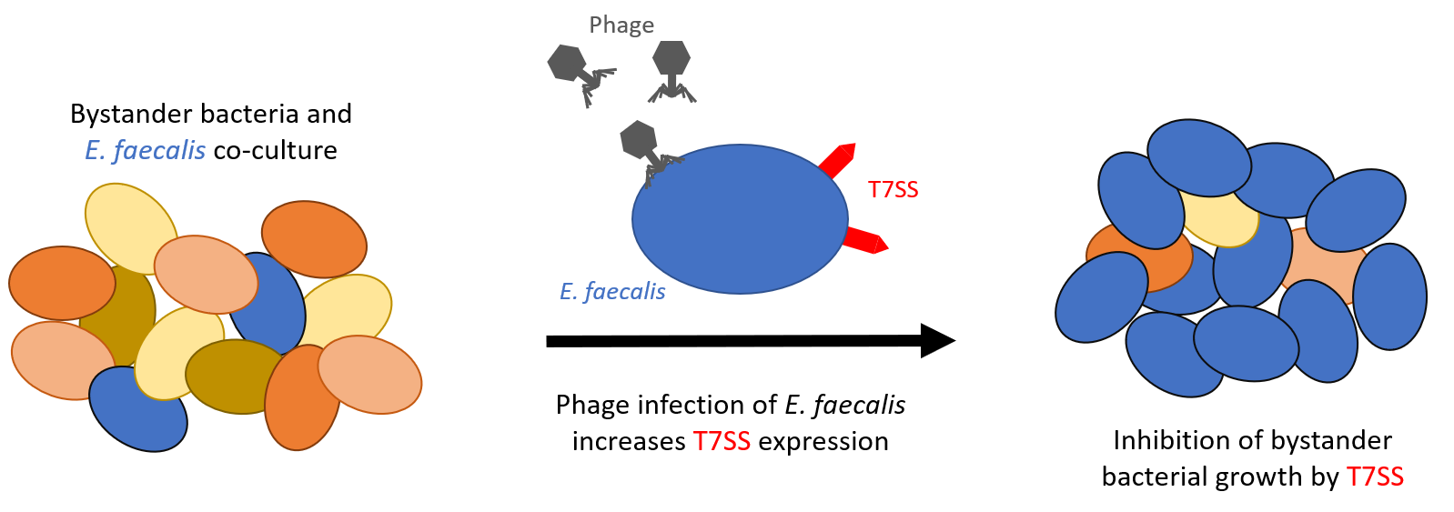 Phage infection mediates inhibition of bystander bacteria